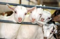 La chèvrerie du Charmat-Credit-©-Bares