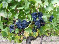 Idée de Sortie Cheverny Découverte du vignoble