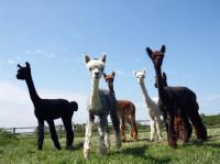 Idée de Sortie Brandonnet DuPrem Alpaga - Visite de la ferme et boutique