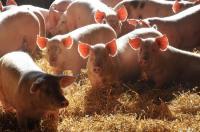 Idée de Sortie Camarès Visite gratuite d'un élevage de porcs sur paille et dégustation