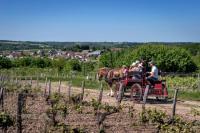 Idée de Sortie Loir et Cher Balades en calèche dans les vignes avec Les Attelages des Caves aux Caux
