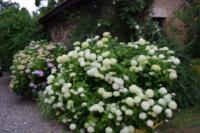 Au Jardin D'Eden-passion-hydrangeas