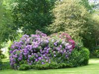 Jardin de La Moisonnais-massif-de-rhodhodendrons-au-primtemps