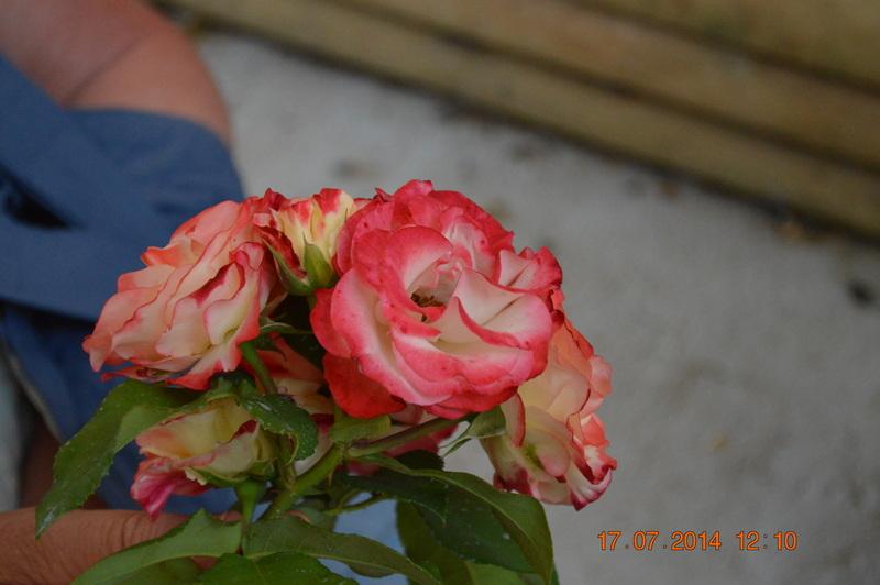 Jardin Des Roses-Rosier-Belle-d-Angouleme